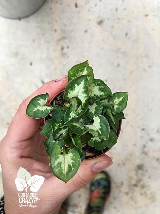 Terrarium Plants Copywrite CCC_0003