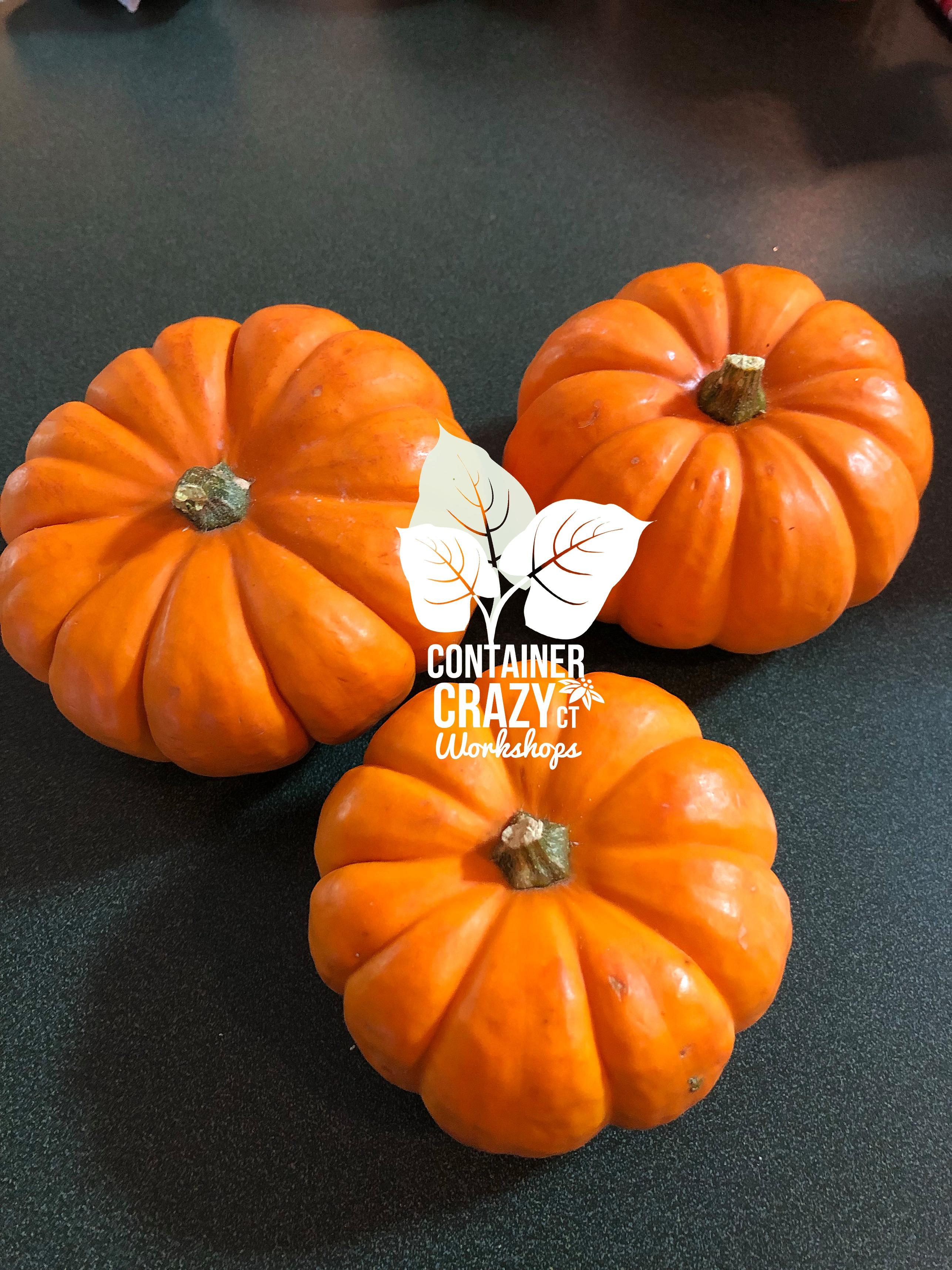 Succ Pumpkins 2019 by C Testa Copywrite_0001