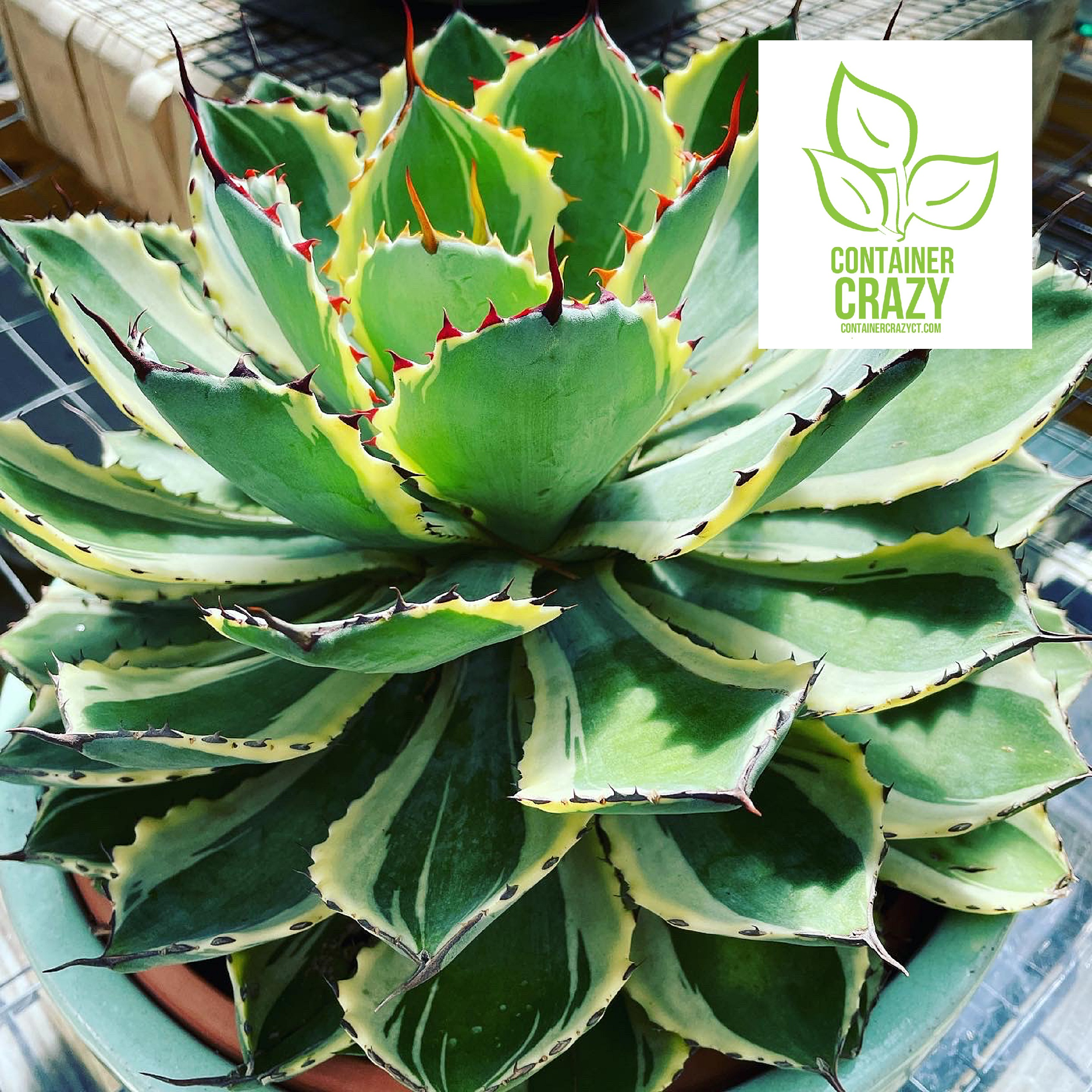 Overwintering Agaves Early